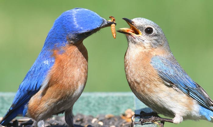 best bluebird feeder