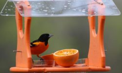 best oriole feeder