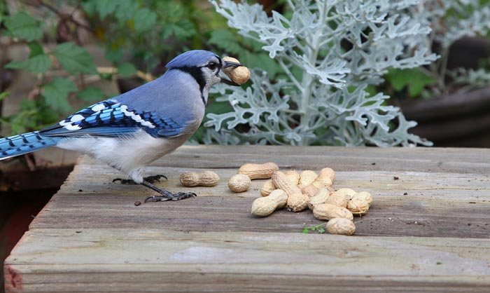 best bird feeder for blue jays