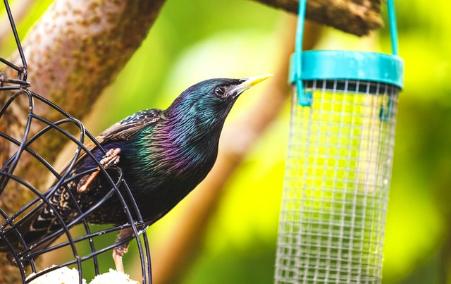 how to get rid of starlings