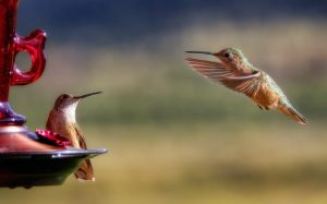 how to attract hummingbirds to feeder