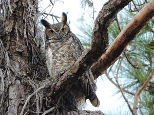 pictures of owls in michigan