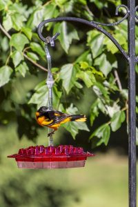 what do orioles eat in the wild