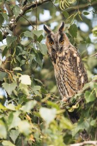 great horned owl michigan