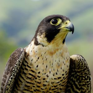 type of falcon