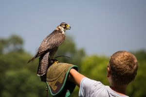 kinds of falcons