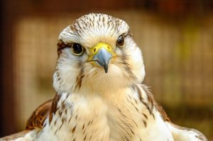types of falcons