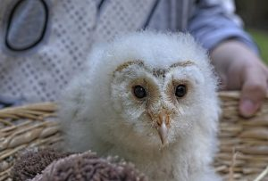 what is a baby owl called