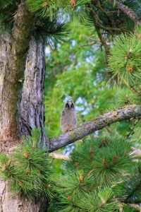 baby owl called