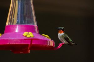different types of hummingbirds