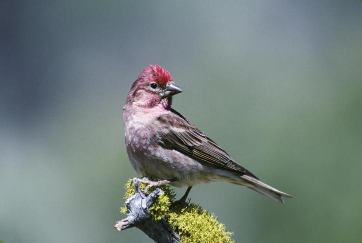 small bird with red head