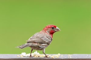 brown bird with red head